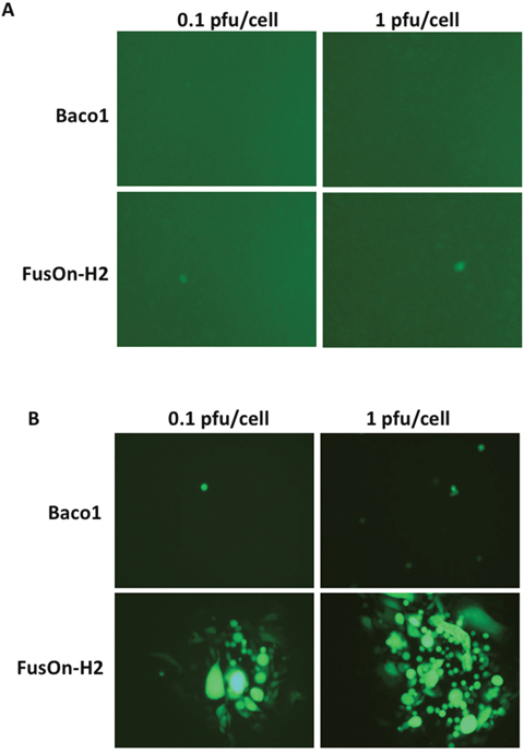 Transduction of nectin-2 gene into CHO-K1 cells allow the entry of both Baco-1 and FusOn-H2 but only enables the later to spread cell-cell.