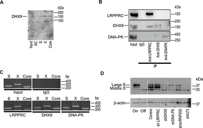 DExH-box helicase 9 (DHX9) knockdown downregulates viral protein levels.