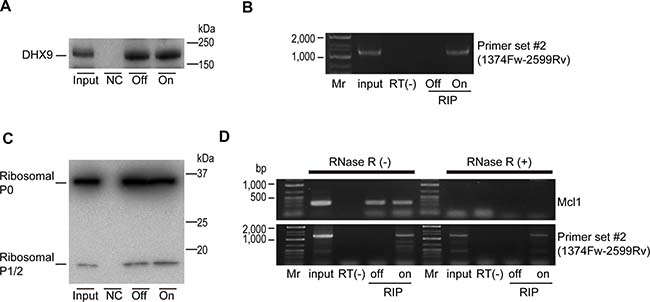 DHX9 and ribosomal proteins are associated with viral circular RNA.