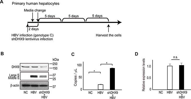 DHX9 regulates viral circular RNA production and viral protein levels.