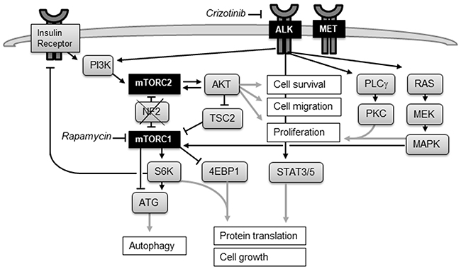 The mTOR and ALK signaling network.