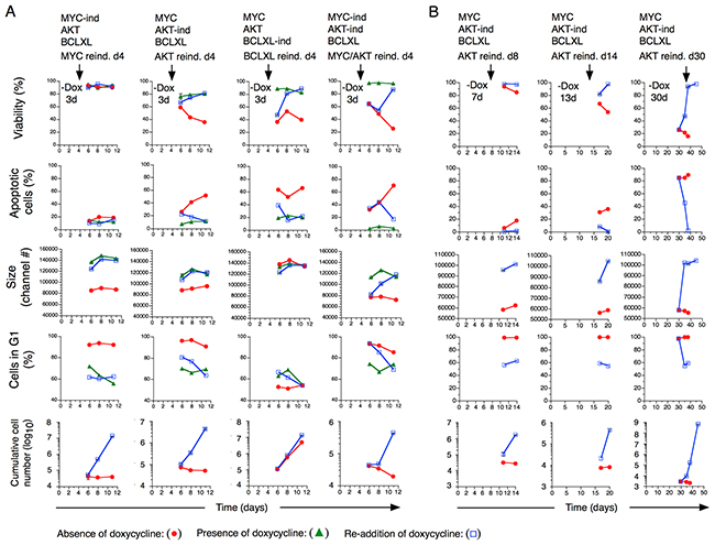 Consequences on transformed T cell growth characteristics after re-induction of MYC, AKT and BCLXL expression.