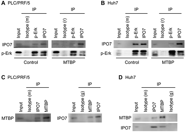 MTBP inhibits interactions between p-Erk and IPO7 by binding to IPO7.