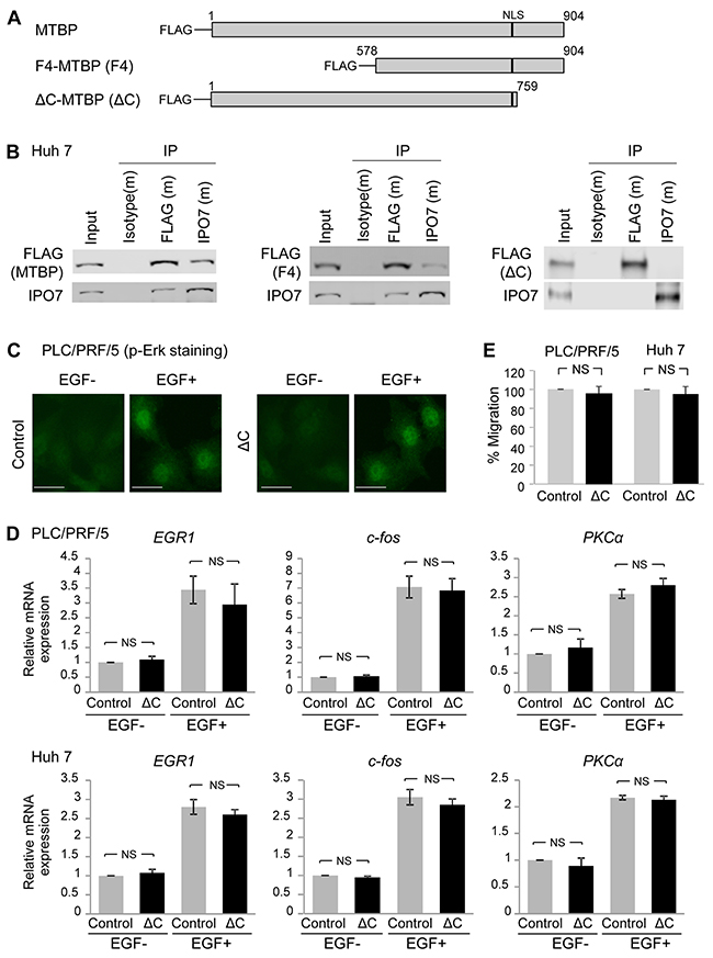 C-terminal region of MTBP is required for binding to IPO7 and inhibiting p-Erk nuclear translocation.