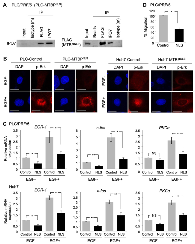 Cytoplasmic MTBP plays a role in inhibiting the Erk1/2-Elk-1 signaling.