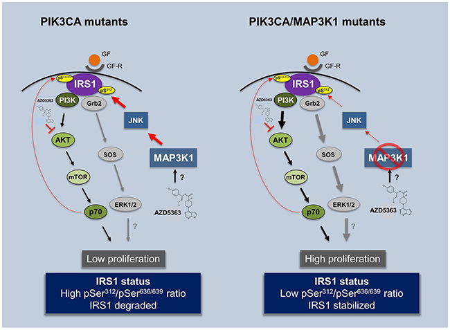 Impact of AZD5363 treatment in PIK3CA and double mutant PIK3CA/MAP3K1 patients.