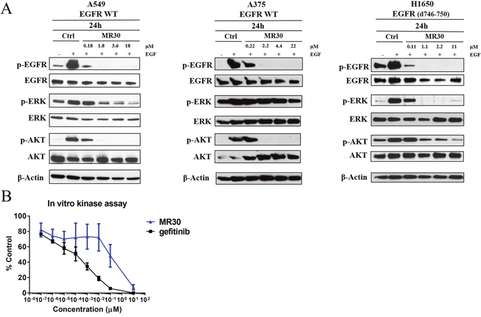 Effects of MR30 on cell signaling.