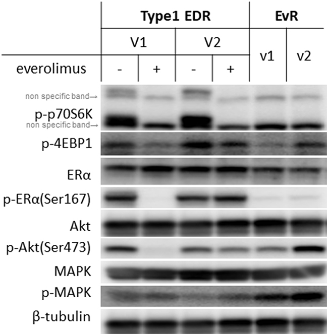 Protein levels in Type 1 EDR-V1 and V2 cells and in EvR (v1, v2) cells generated from EDR-V1 cells.