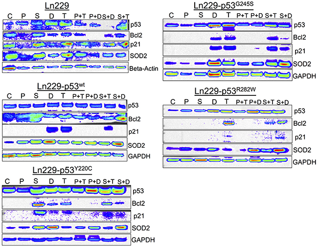 Differential expression of p53 responsive pathway proteins (p21, Bcl2 and SOD2) in response to the treatment of PhiKan083 and SCH529074 in combination with Dox and TMZ (C: Control, P: PhiKan083-50 μM, S: SCH529074-1. 25 μM, D: Dox-1 μM, T: TMZ-100 μM, P+D: PhiKan083-50 μM and Dox-1 μM, P+T: PhiKan083-50 μM and TMZ-100 μM, S+D: SCH529074-1.25 μM and Dox-1 μM, S+T: SCH529074-1.25 μM and TMZ-100 μM).
