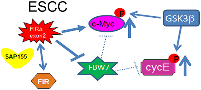 Cyclin E expression in ESCC in terms of the potential interaction between FIR/FIRΔexon2 and FBW7.