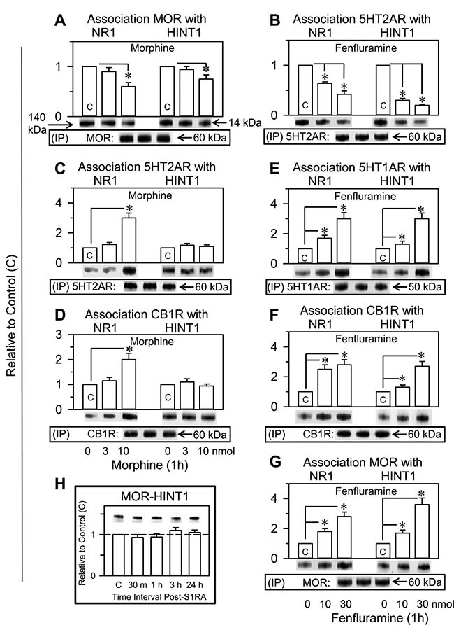 Fenfluramine transfers control of NMDARs and HINT1 proteins to other GPCRs such as 5HT1ARs, CB1Rs or MORs. Comparative study with morphine and S1RA.