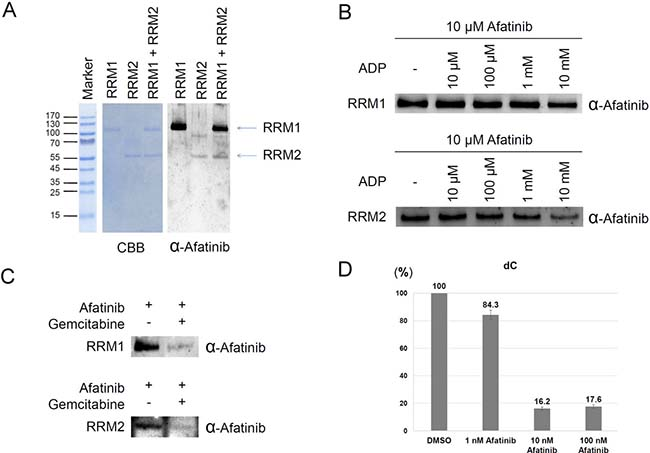 Ribonucleotide reductase as a direct target of afatinib.