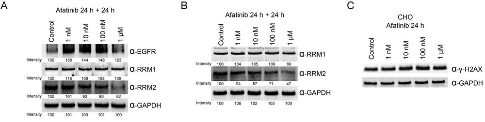 Ribonucleotide reductase is also a target protein of afatinib in PC-9 and EGFR-null CHO cells.