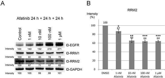Downregulation of ribonucleotide reductase by long-term treatment of afatinib.