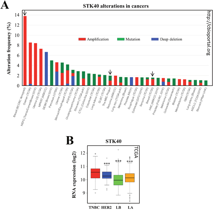STK40 is amplified/mutated in various tumors and more strongly expressed in TNBC than in other subtypes of breast cancer.