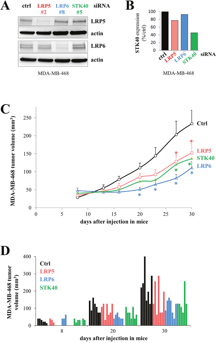 The depletion of LRP5, LRP6 or STK40 delays tumor growth.