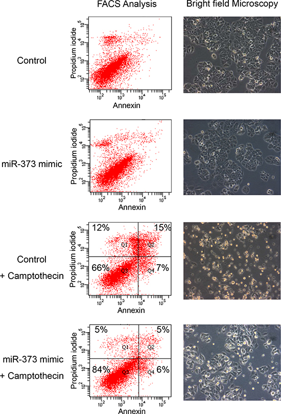 Inhibition of camptothecin mediated apoptosis by miR-373 overexpression.