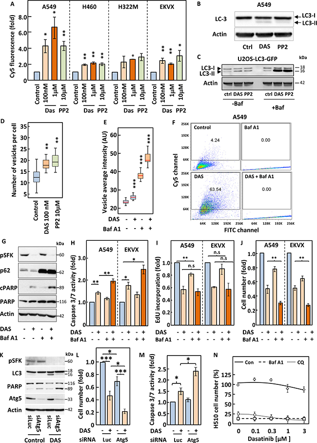Inhibition of autophagy induced by SFKs targeting sensitise cells to dasatinib.