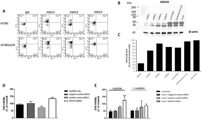 HDAC2 expression is enhanced in A2780/cp70 (cisplatin-resistant) cells in comparison to A2780 (cisplatin-sensitive cells) but knockdown of HDAC2 has no effect on cisplatin-resistant cell proliferation.