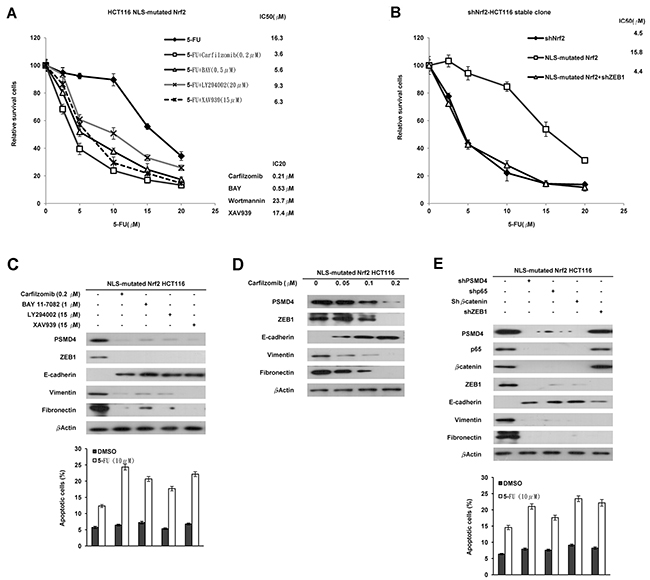 Activation of the NF-κB/AKT/β-catenin cascade by cNrf2-induced PSMD4 expression may be responsible for 5-FU resistance due to increased ZEB1 expression.