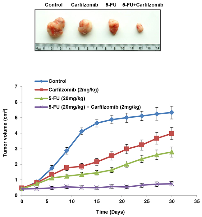 Carfilzomib efficiently suppresses tumor growth induced by the NLS-mutated Nrf2-transfected shNrf2HCT116 clone in nude mice.