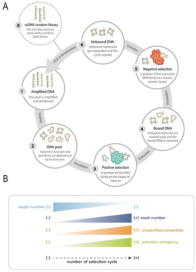Oncotarget | Aptamers: novelty tools for cancer biology