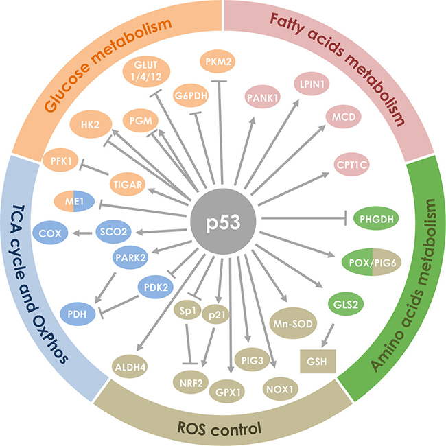 Oncotarget | p53 and metabolism: from mechanism to therapeutics