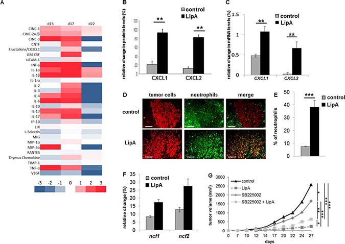 Anti-tumor effect of LipA was correlated with neutrophil infiltration.