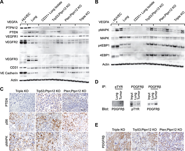 mTOR and MAPK pathways are activated in murine angiosarcoma.