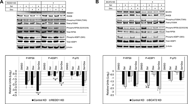 Silencing REDD1 reduces SEL-DEX inhibitory effect on mTOR-activity.