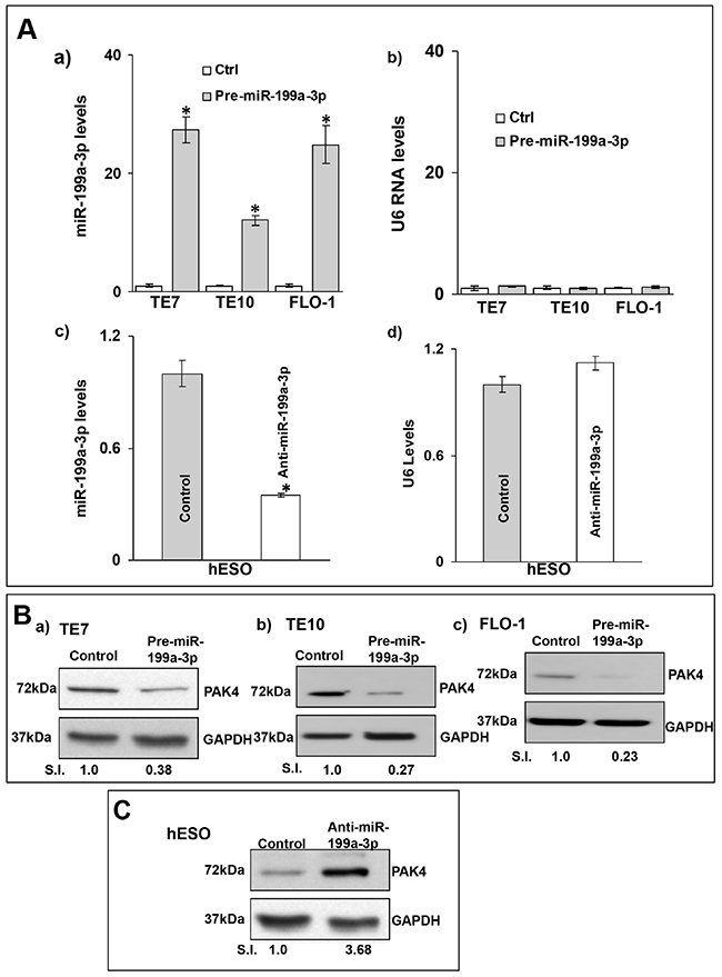 MiR-199a-3p reduces PAK4 expression in human esophageal cells.