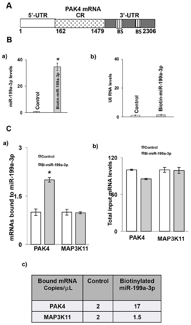 Association of miR-199a-3p with PAK4 mRNA.