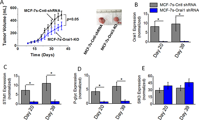 Tumorigenicity of high salt passaged breast cancer cells following shRNA knock down of Orai1 expression.