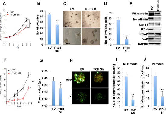 ITCH depletion inhibits MDA-MB435 breast cancer cell tumorigenic phenotypes.