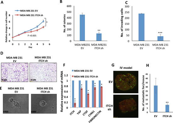 ITCH knockdown inhibits tumorigenicity of MDA-MB231 breast cancer cells.