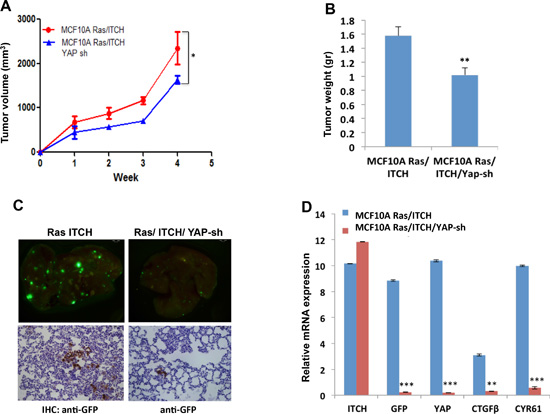 Effect of YAP knockdown on tumor progression in MCF10A cells overexpressing ITCH.