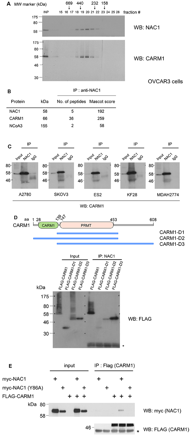 NAC1 interacts with CARM1 in ovarian cancer cells.