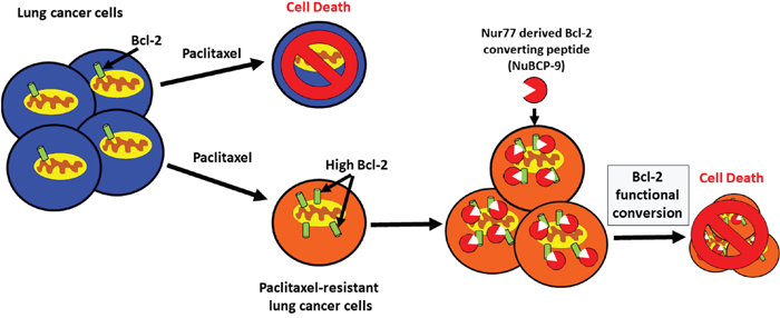 Bcl-2 functional conversion induces apoptosis in paclitaxel resistant lung cancer cells with increased expression of Bcl-2.