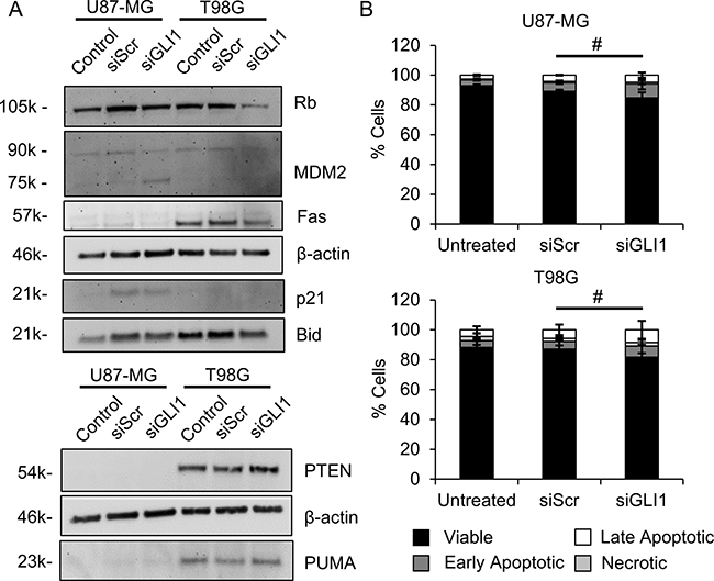 Silencing GLI1 does not correlate with apoptosis in GBM cells.