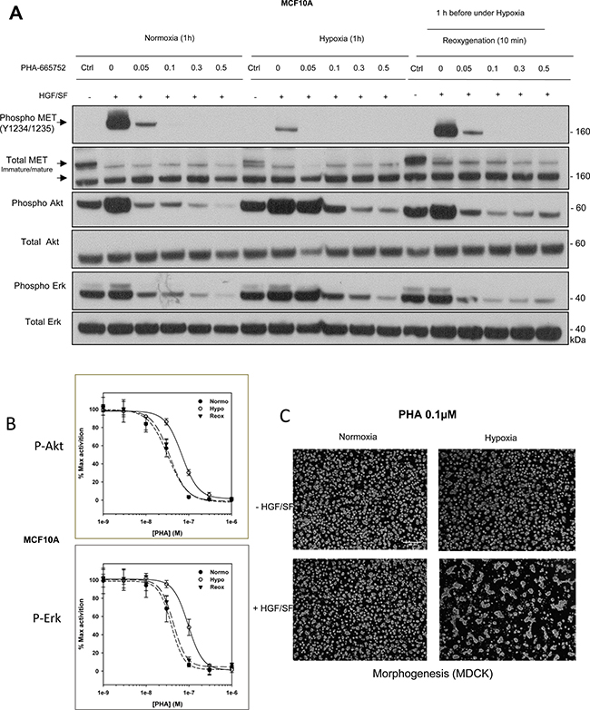 Responses to the tyrosine kinase inhibitor PHA-665752 under hypoxia and reoxygenation.