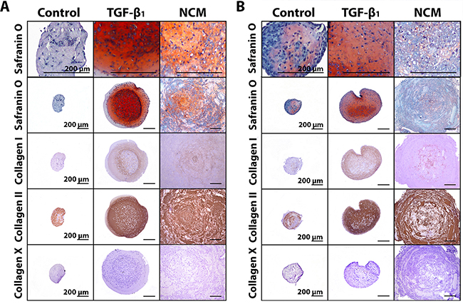 Notochordal cell-derived matrix (NCM) induces extracellular matrix deposition by chondrocyte-like cells (CLCs).