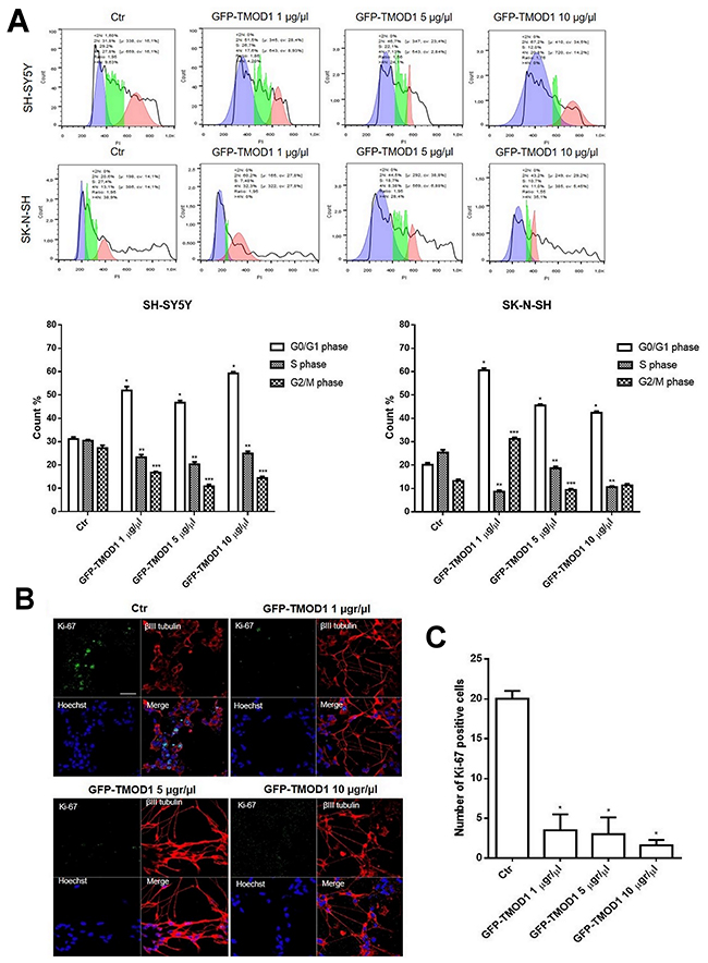 TMOD1 knockin induces cell cycle and cell proliferation arrest.