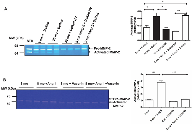 The Ang II associated MMP-2 activation with aging mediated by vasorin.