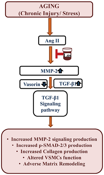 Schematic diagram showing the Ang II-associated TGF-β1 signaling affected by vasorin cleavage due to MMP-2 activation in VSMCs or arterial walls with aging.