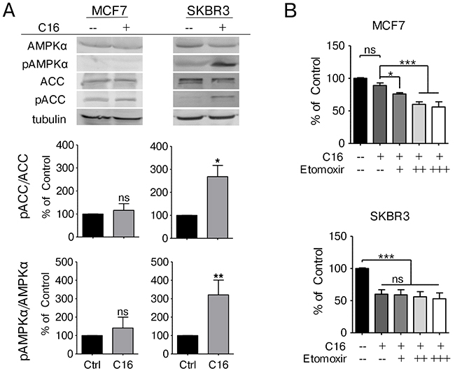 Exogenous palmitate inhibits FA synthesis in HER2/neu-positive SKBR3 breast cancer cells.