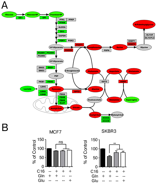 Network-overlay of metabolomic and transcriptomic data indicates alterations in glutamine, serine and glucose metabolism.