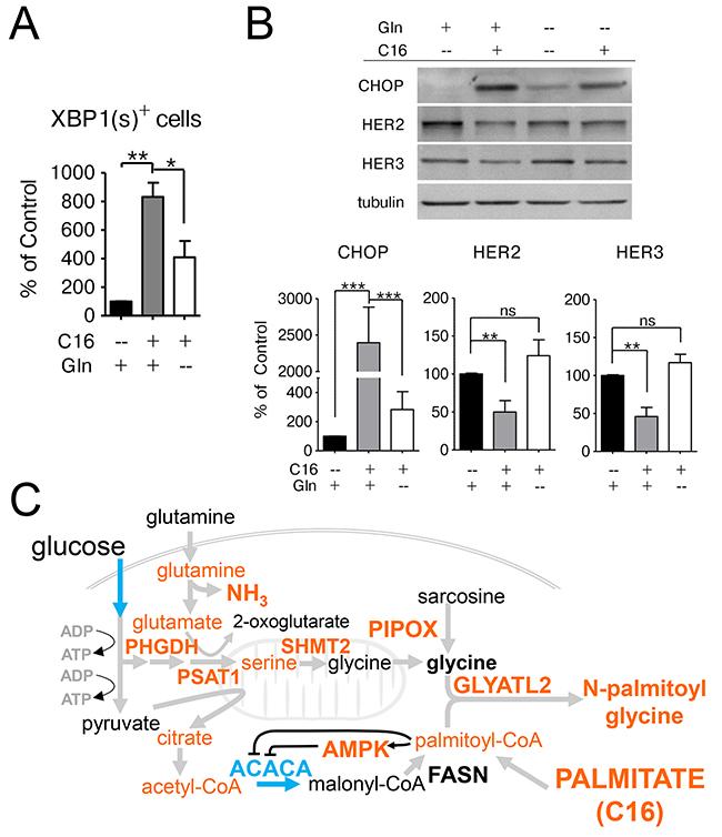 Glutamine supplementation exacerbates the lipotoxic effects of palmitate in HER2/neu-positive SKBR3 cells.