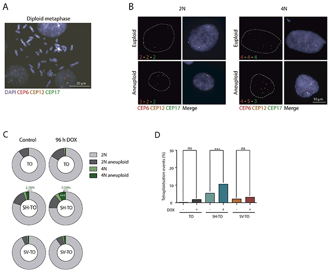 Tetraploidisation is not the usual fate of cells experiencing sustained TRF2ΔBΔM expression.