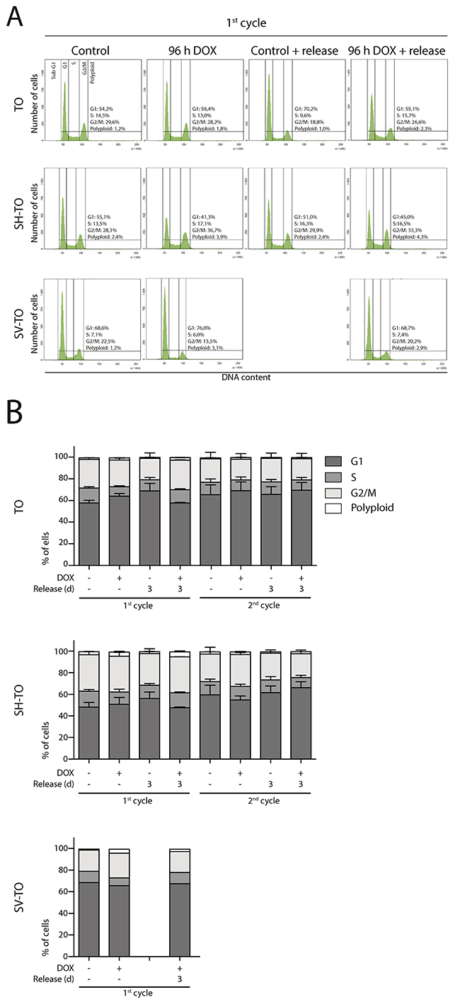Absence of cell cycle profile disturbances after long TRF2ΔBΔM expression periods.