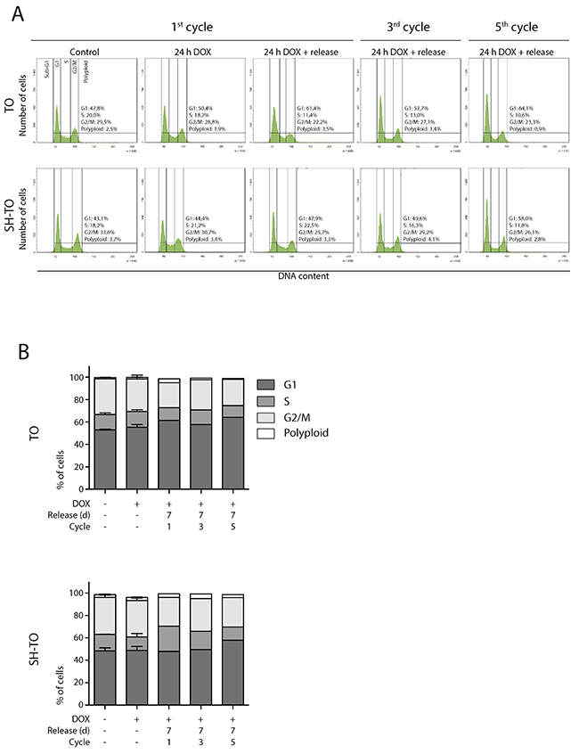 Short TRF2ΔBΔM expression periods did not alter the cell cycle profile.